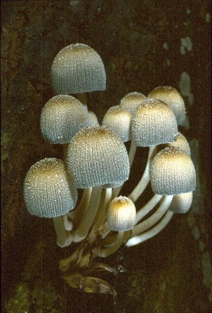 http://www.kjbeath.com.au/photos/fungi%201/Images/crop0078.jpg